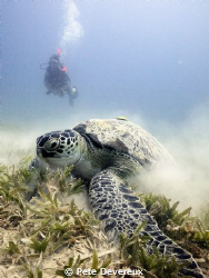 Turtle munching away on the sea grass at Marsa Shouna usi... by Pete Devereux 